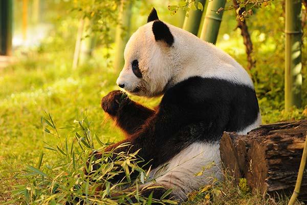 中国語会話-パンダ